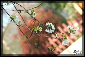 Cerisier03©Photo Audrey Janvier