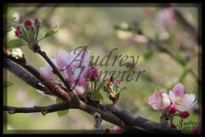 Cerisier05©Photo Audrey Janvier