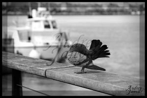 Pigeon02©Photo Audrey Janvier (1)